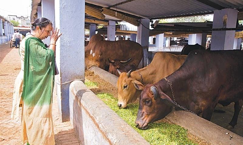 1. Hindistan'da herkes ineklere tapıyor.
